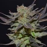 Auto Lavender (CBD Seeds) feminized