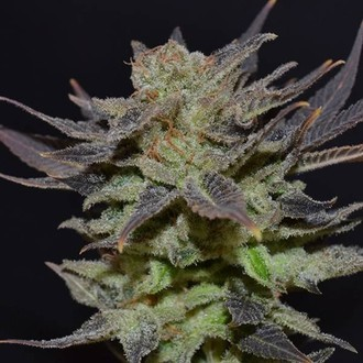 Auto Lavender (CBD Seeds) femminizzata