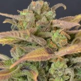 Auto Critical (CBD Seeds) feminized