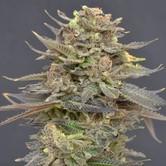Magma (CBD Seeds) feminisiert