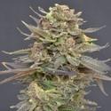 Magma (CBD Seeds) femminizzata