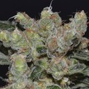 Zen (CBD Seeds) feminized