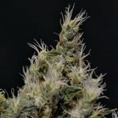 Vanilla Haze (CBD Seeds) feminized
