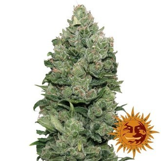Top Dawg (Barney's Farm) feminized