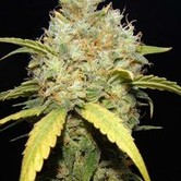 Critical Ganja (Makka Seeds) feminized