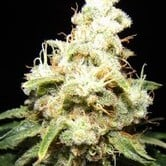 Wacky Widow (Makka Seeds) feminized