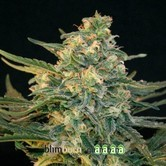 Guanabana (Blimburn Seeds) feminized