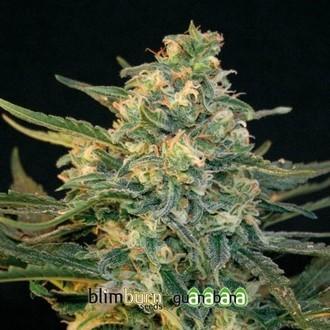 Guanabana (Blimburn Seeds) femminizzata