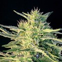 Wombat (Blimburn Seeds) feminized