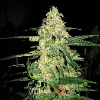 Original Clon (Blimburn Seeds) femminizzata