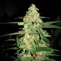 Original Clon (Blimburn Seeds) feminized