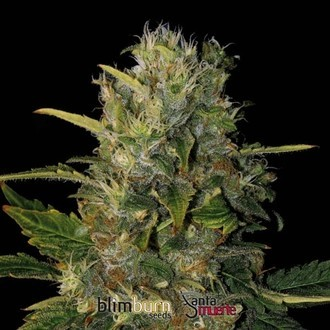 Santa Muerte (Blimburn Seeds) feminisiert