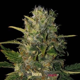 Santa Muerte (Blimburn Seeds) feminized