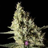 Narkosis (Blimburn Seeds) femminizzata