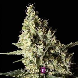 Narkosis (Blimburn Seeds) feminisiert
