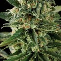 Critical Automatic (Blimburn Seeds) feminized