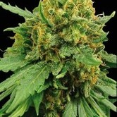 Super Automatic (Blimburn Seeds) feminisiert