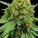 Super Automatic (Blimburn Seeds) feminized