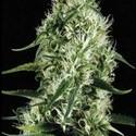 Silver Surfer Haze (Blimburn Seeds) feminisiert