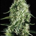 Silver Surfer Haze (Blimburn Seeds) feminized