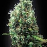 Tijuana (Blimburn Seeds) femminizzata