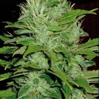 Mango (Blimburn Seeds) feminized