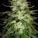 Cr+ (Blimburn Seeds) feminisiert