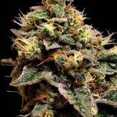 Kabrales (Blimburn Seeds) feminized