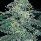 BCN Diesel (Blimburn Seeds) femminizzata