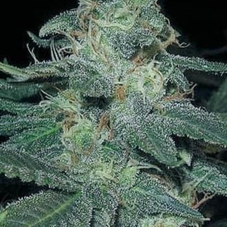 BC Diesel (Blimburn Seeds) femminizzata