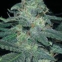 BC Diesel (Blimburn Seeds) feminized
