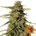 Red Cherry Berry (Barney's Farm) feminized