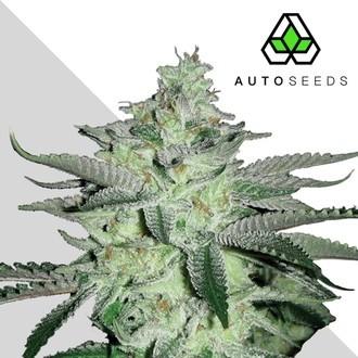 Diesel Berry (Auto Seeds) femminizzata