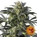 Crimea Blue (Barney's Farm) feminized