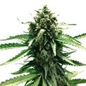 Auto Frisian Dew (Dutch Passion) feminized