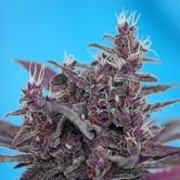 Black Cream Auto (Sweet Seeds) femminizzata