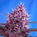 Red Poison Auto (Sweet Seeds) feminized