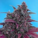 Dark Devil Auto (Sweet Seeds) feminized