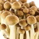 100% Mycelium Kit Golden Teacher (Supa Gro)