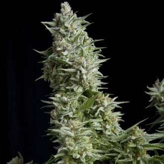 Alpujarreña (Pyramid Seeds) feminized