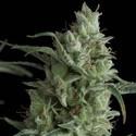Kryptonite (Pyramid Seeds) feminisiert