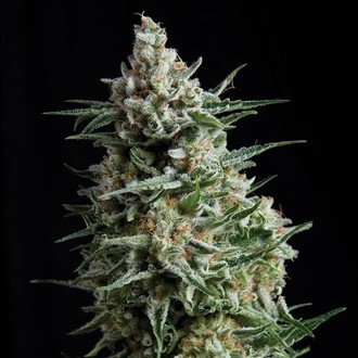 Anesthesia (Pyramid Seeds) feminized