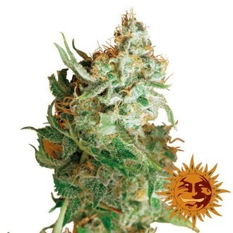 Red Dragon (Barney's Farm) feminized