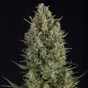 Wembley (Pyramid Seeds) feminisiert