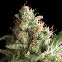 Pipi (Pyramid Seeds) feminized