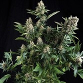 White Widow (Pyramid Seeds) femminizzata