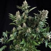 White Widow (Pyramid Seeds) femminizzata