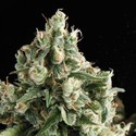 Lennon (Pyramid Seeds) feminized