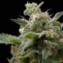 Super Hash (Pyramid Seeds) feminized