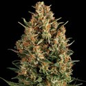 Auto Wembley (Pyramid Seeds) feminisiert